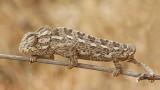 Common chameleon Chamaeleo chamaeleon navadni kameleon_MG_6664-111.jpg