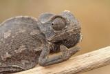 Common chameleon Chamaeleo chamaeleon navadni kameleon_MG_6818-111.jpg