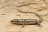 Maltese wall lizard Podarcis filfolensis_MG_7338-111.jpg