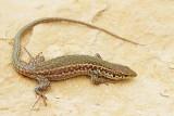 Maltese wall lizard Podarcis filfolensis_MG_7331-11.jpg