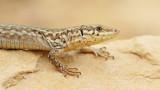 Maltese wall lizard Podarcis filfolensis_MG_7312-111.jpg
