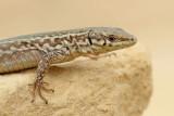 Maltese wall lizard Podarcis filfolensis_MG_7328-111.jpg