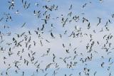 Flock jata_MG_6003-111.jpg