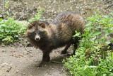 Raccoon dog Nyctereutes procyonoides rakunasti pes_MG_4932-11.jpg