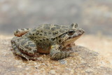 Painted frog  Discoglossus pictus_MG_7390-111.jpg