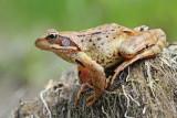Common frog Rana temporaria sekulja_MG_0484-111.jpg