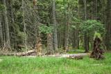 Coniferous forest iglast gozd, Pohorje_MG_6780-111.jpg