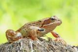 Common frog Rana temporaria sekulja_MG_0432-111.jpg