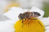 Hoverfly muha trepetavka_MG_99781-111.jpg