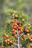 Prickly juniper Juniperus oxycedrus rdečeplodni brin_MG_4982-11.jpg