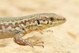 Maltese wall lizard Podarcis filfolensis_MG_7300-111.jpg