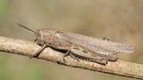 Egyptian locust Anacridium aegyptium egipčanska kobilica_MG_6902-111.jpg