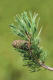 Mountain pine Pinus mugo ruševje_MG_74421-11.jpg