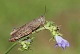 Italian locust Calliptamus italicus laška kobilica_MG_7904-111.jpg