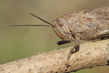 Egyptian locust Anacridium aegyptium egipčanska kobilica_MG_6911-111.jpg