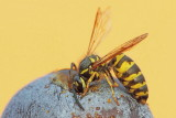 Wasp Vespa sp. osa_MG_8336-111.jpg