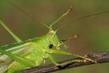 Great green bush-cricket Tettigonia viridissima drevesna zelenka_MG_7993-111.jpg