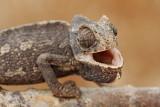 Common chameleon Chamaeleo chamaeleon navadni kameleon_MG_6743-111.jpg