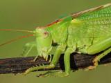 Great green bush-cricket Tettigonia viridissima drevesna zelenka_MG_8089-111.jpg