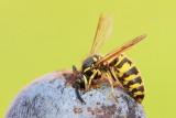 Wasp Vespa sp. osa_MG_8325-111.jpg