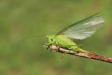 Great green bush-cricket Tettigonia viridissima drevesna zelenka_MG_8046-111.jpg