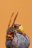European hornet Vespa crabro sršen_MG_8414-11.jpg