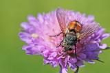 Parasitic fly muha_MG_6444-111.jpg