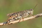 Italian locust Calliptamus italicus laška kobilica_MG_7957-111.jpg