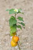 Bladder cherry Physalis alkekengi volčje jabolko_MG_7780-11.jpg