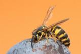 Wasp Vespa sp. osa_MG_8349-111.jpg