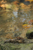 Stone crayfish Austropotamobius torrentium koščak_MG_0151-111.jpg