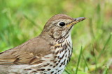 Song thrush Turdus philomelos cikovt_MG_9916-111.jpg
