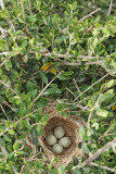 Nest of sardinian warbler Sylvia melanocephala gnezdo žametne penice_MG_7216-11.jpg