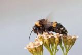 Drying bumblebee after rain sušeči čmrlj po dežju,_MG_7684-111.jpg