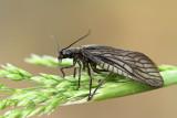 Alderfly Sialis sp.  blatnica_MG_5160-111.jpg