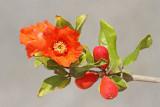 Pomegranate Punica granatum granatno jabolko_MG_6981-111.jpg