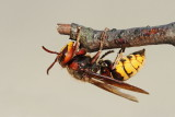 European hornet Vespa crabro sršen_MG_0438-111.jpg