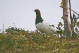 Willow ptarmigan Lagopus lagopus_PICT0006-111.jpg