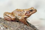 Common frog Rana temporaria sekulja_MG_0502-111.jpg