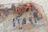 Late grapes gozdje_MG_0311-11.jpg