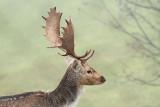 Fallow deer Dama dama damjak_MG_02841-111.jpg