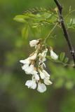 Black locust Robinia pseudoacacia robinija_MG_9436-11.jpg