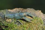 Rare blue form of stone crayfish Austropotamobius torrentium modri koščak_MG_0094-111.jpg