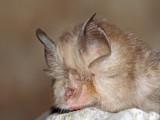 Lesser horseshoe bat Rhinolophus hipposideros mali podkovnjak_MG_2103-111.jpg