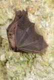 Lesser horseshoe bat Rhinolophus hipposideros mali podkovnjak_MG_2211-11.jpg