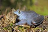 Moor frog Rana arvalis plavček_MG_3133-111.jpg