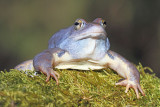 Moor frog Rana arvalis plavček_MG_2870-111.jpg