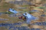 Moor frog Rana arvalis plavček_MG_2998-111.jpg