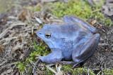 Moor frog Rana arvalis plavček_MG_3142-111.jpg