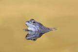 Moor frog Rana arvalis plavček_MG_3044-111.jpg